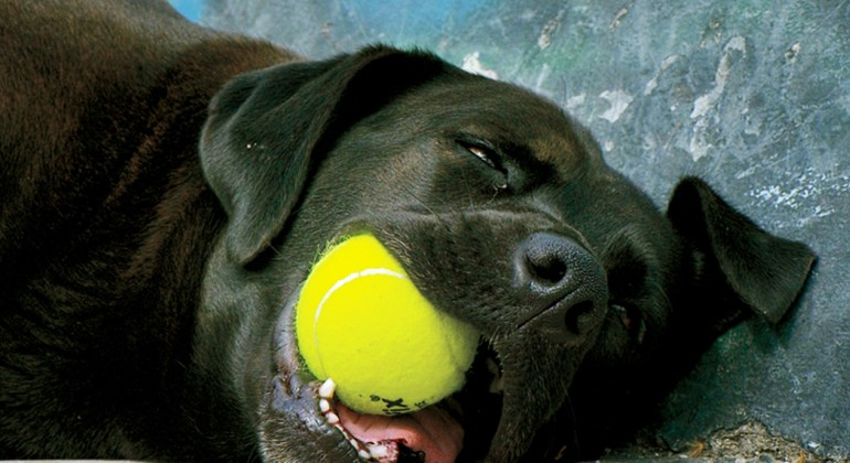 Large, sleepy black dog with a tennis ball in its mouth